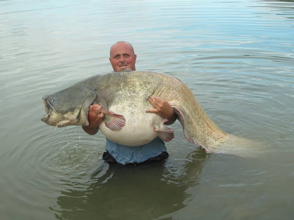 This 227lb wels catfish was caught in the ebro river spain for Fishing channel on dish