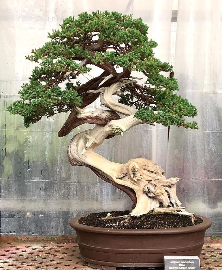 Toddafter Bonsai Bonsai Tree Juniper Bonsai