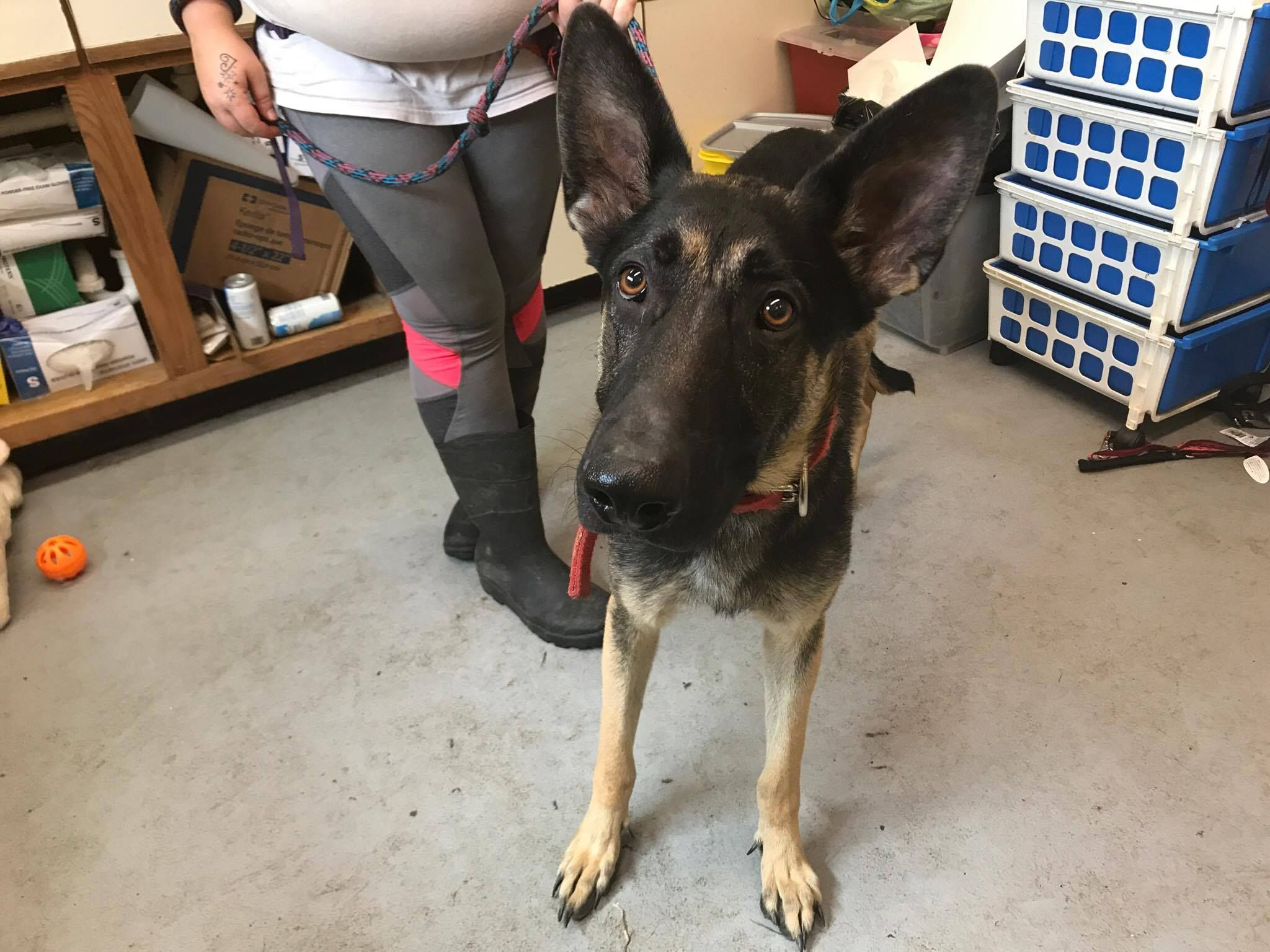 German Shepherd Dog Dog For Adoption In Beckley Wv Adn 805718 On