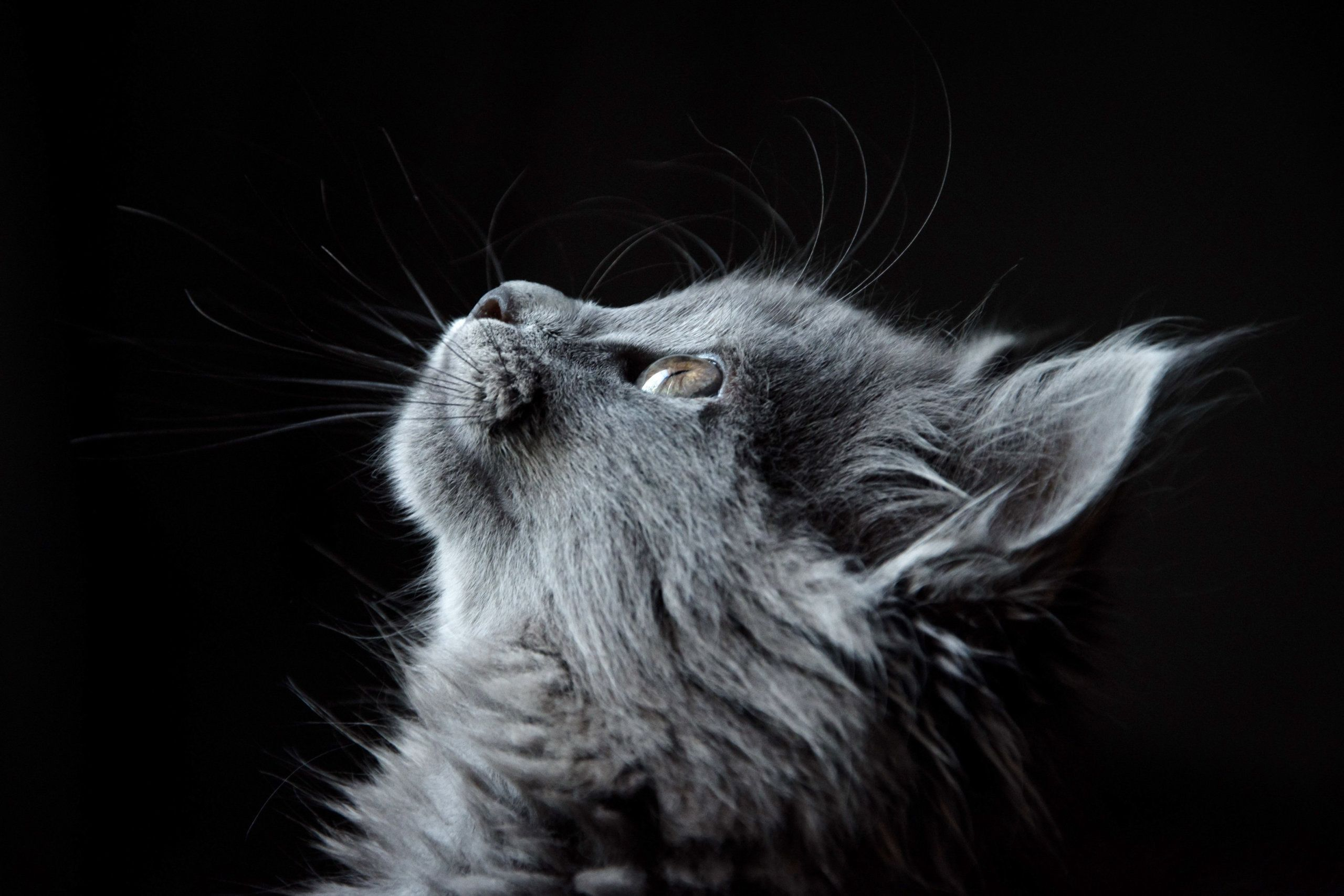 Free Animals Photos Amazing Cat Picture Grey Kitten Looking For Hope Black Background Wallpaper Animal Eyes Animals Petanos Animals Funny Cats Cat Breeds Grey Kitten