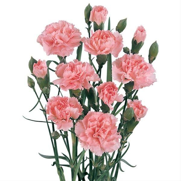 Barbara Light Pink Mini Carnation Carnations Flowers By Category 꽃 예술 봄 꽃 아름다운 꽃