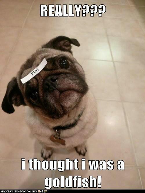 Funny Pug Pugs Cute Animals Cute Pugs