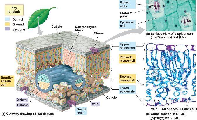 leaf_anatomy.html 35_18-LeafAnatomy-L.jpg | Root, stem & leaf ...