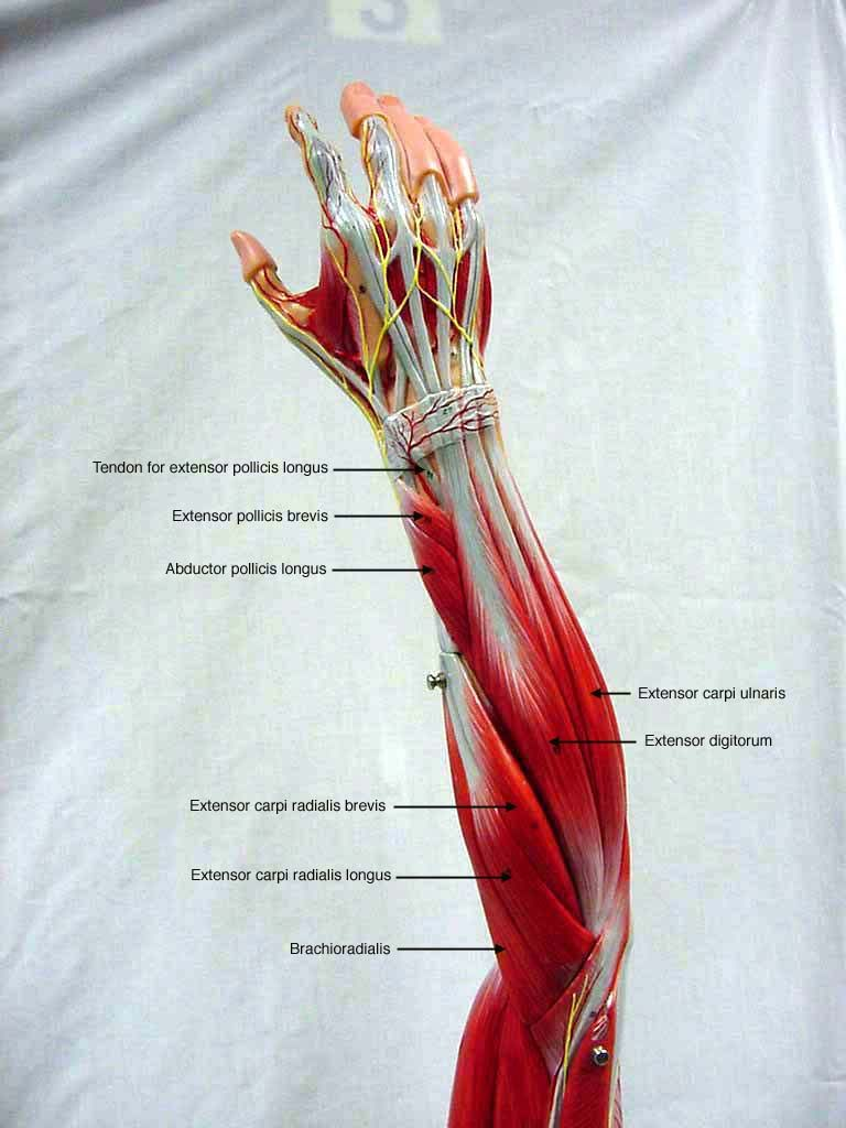 Posterior Forearm | A&P | Pinterest | Muscle anatomy, Anatomy and ...
