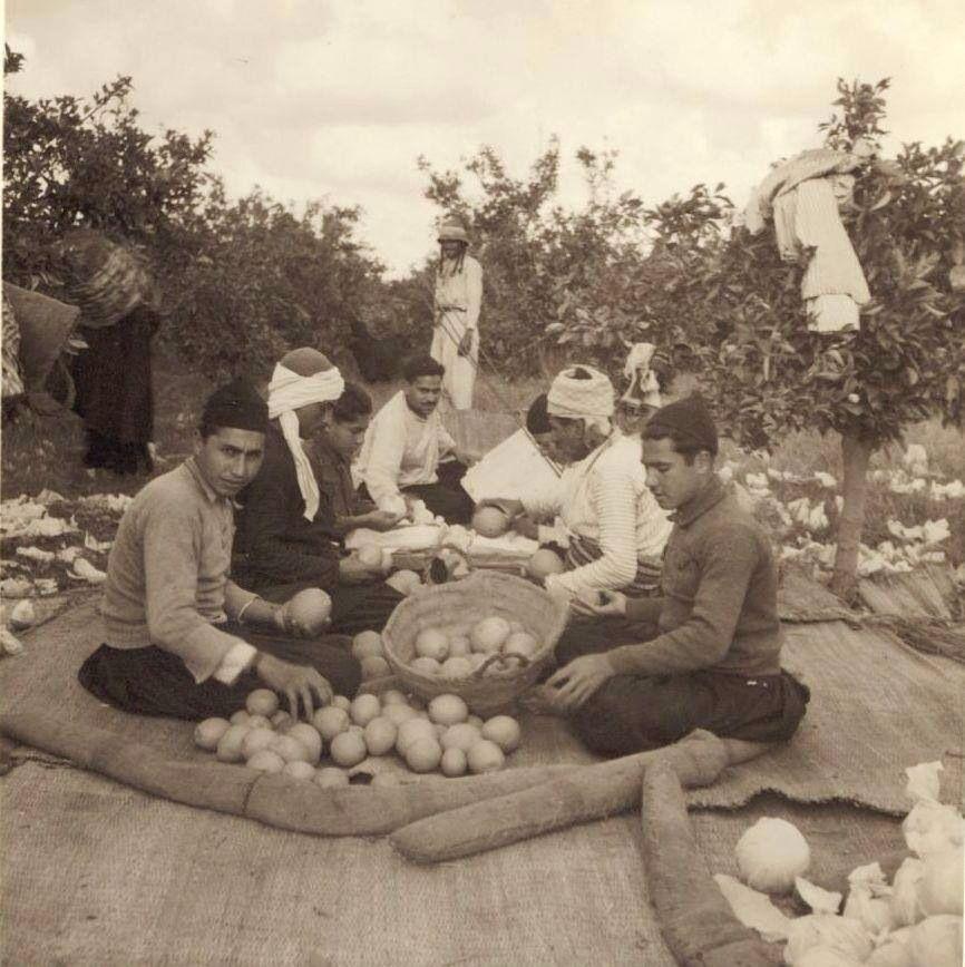 موسم البرتقال في بيارة في يافا يافا فلسطين ١٩٣٧ Palestine History Bible Images Palestine