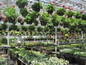 Greenhouse And Nursery Products Such As Ornamental Shrubs Flowers Young Plants Are Connecticut S