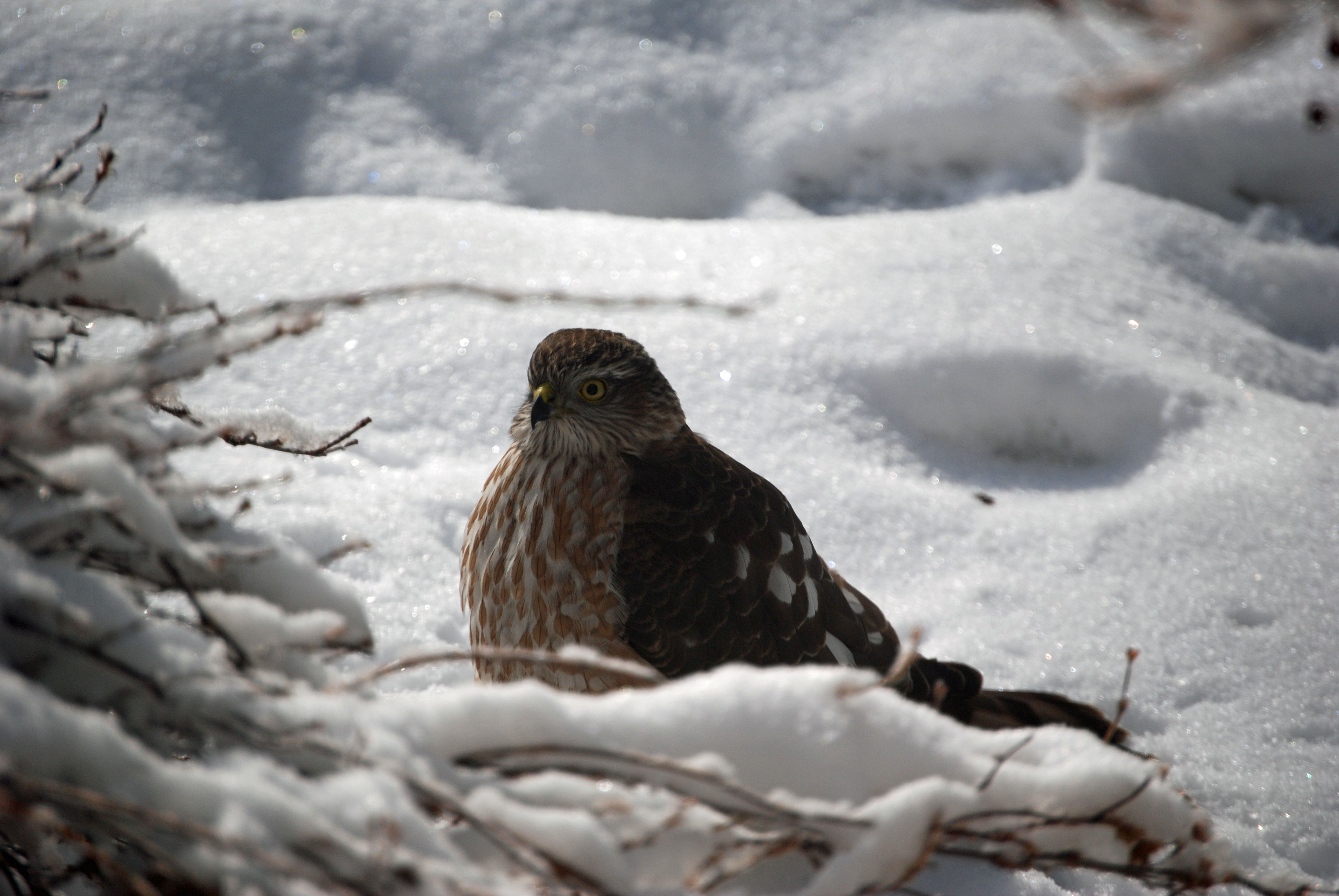 This is a Cooper's Hawk who visited our yard today in Colorado, lurking around the bird feeders and bushes where mice like to hide.  He's a beautiful predator!  11/11/12