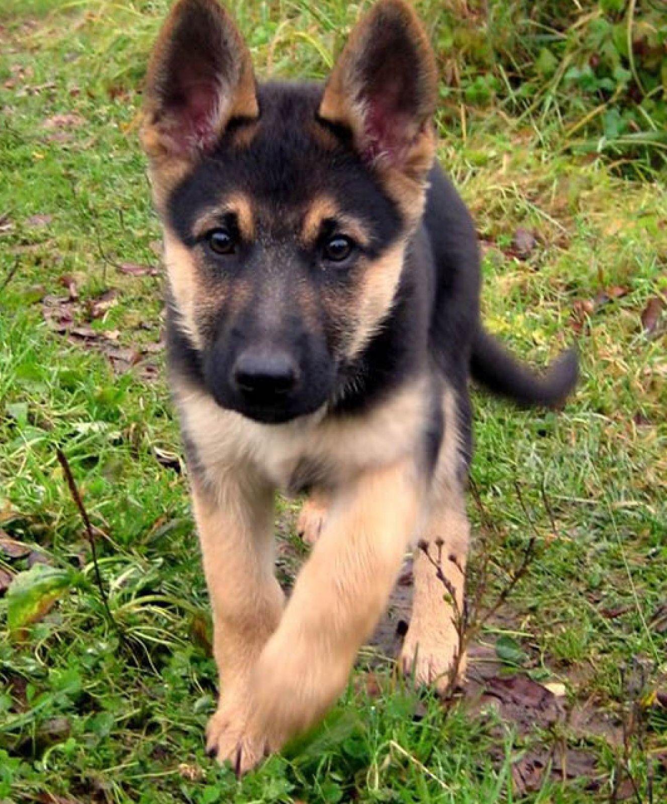 Loyal German Shepherd Shepherd Puppies Cute Animals Puppies