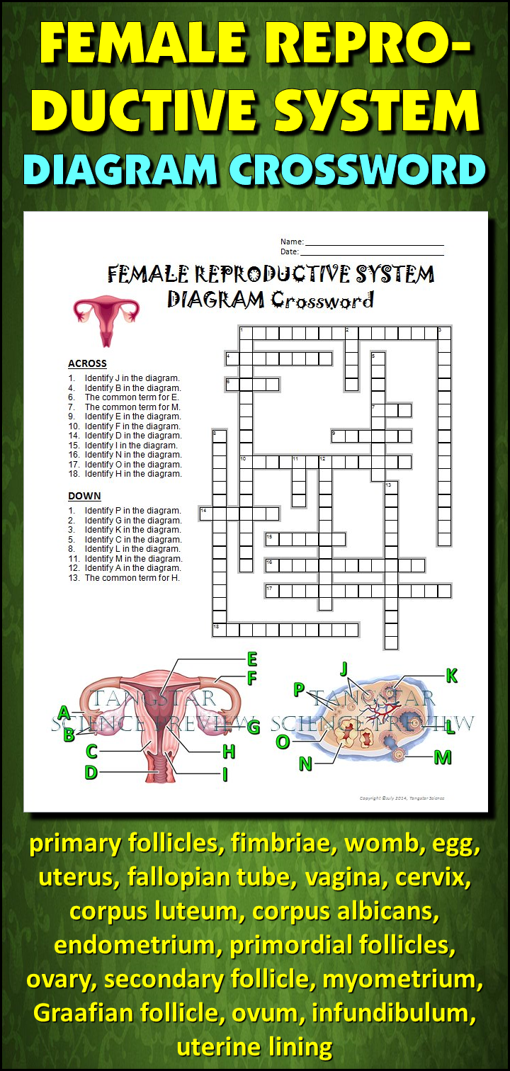 Female Reproductive System Crossword with Diagram {Editable ...