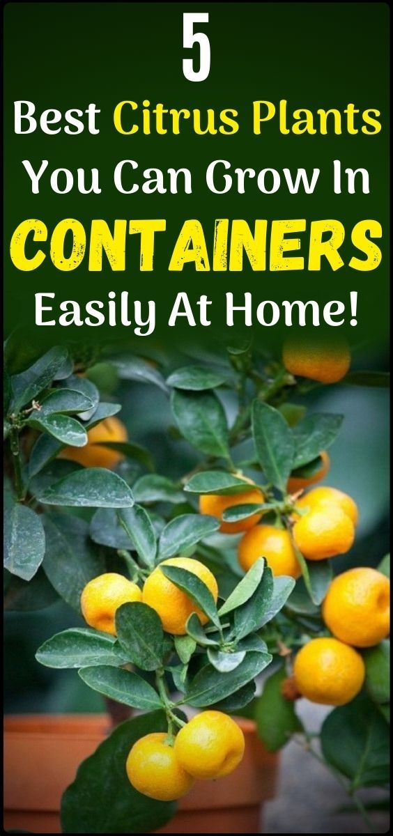 5 Best Citrus Trees For Containers Growing Citrus In Pots Gardening For Beginners Gardening Tips Planting Herbs