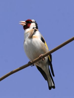 Cuidados Del Jilguero Jilguero Aves Pajaros Pajaros