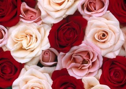 Cupid S Crush Valentine S Day Red White Roses Fragrant Roses