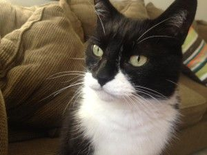 Beautiful Black And White Cat I Love Cats White Cats Warrior Cats