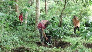 How Shade Grown Organic Coffee is made