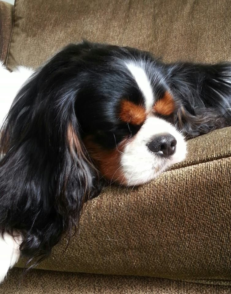 Huskylove Love Dogs Ilove Dogs Cutedogpic Cutedogs Dog Dogpics Dogpict In 2020 King Charles Dog Cavalier King Charles Dog King Charles Cavalier Spaniel Puppy