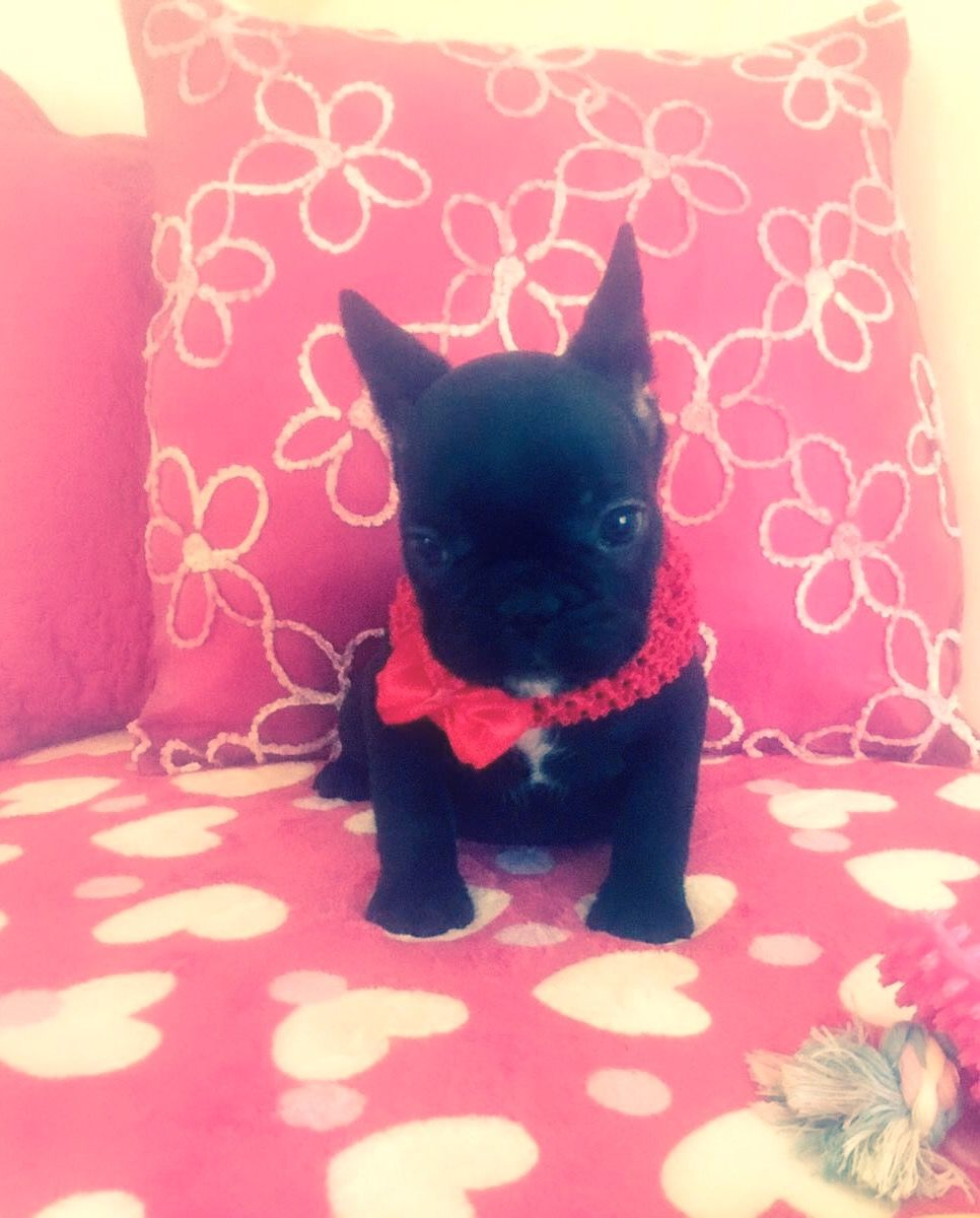 Pin By Toni Meisberger On French Bulldogs French Bulldog Cutest