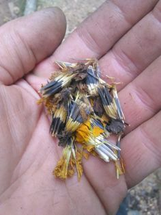 Planting Marigold Seeds: Learn When And How To Plant Marigold Seeds