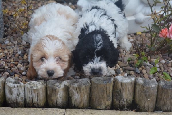Cockapoo Puppies In Lincoln Lincolnshire With Images Puppies For Sale Cockapoo Puppies