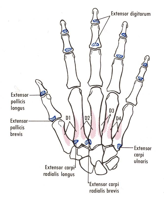 Bones of the right hand, showing muscular and tendinous attachments ...