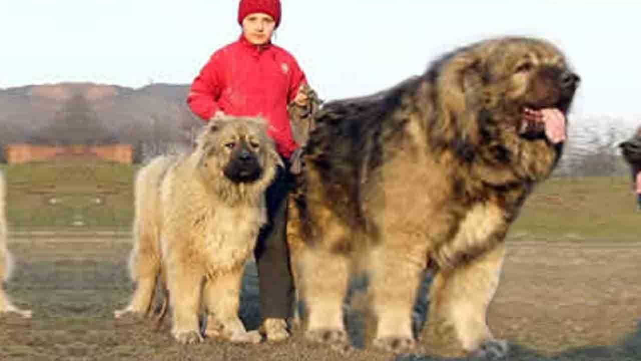 Large Of Strongest Dog In The World