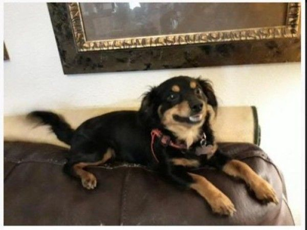 Chihuahua And Dachshund Mixed Dog For Adoption In Fort Worth