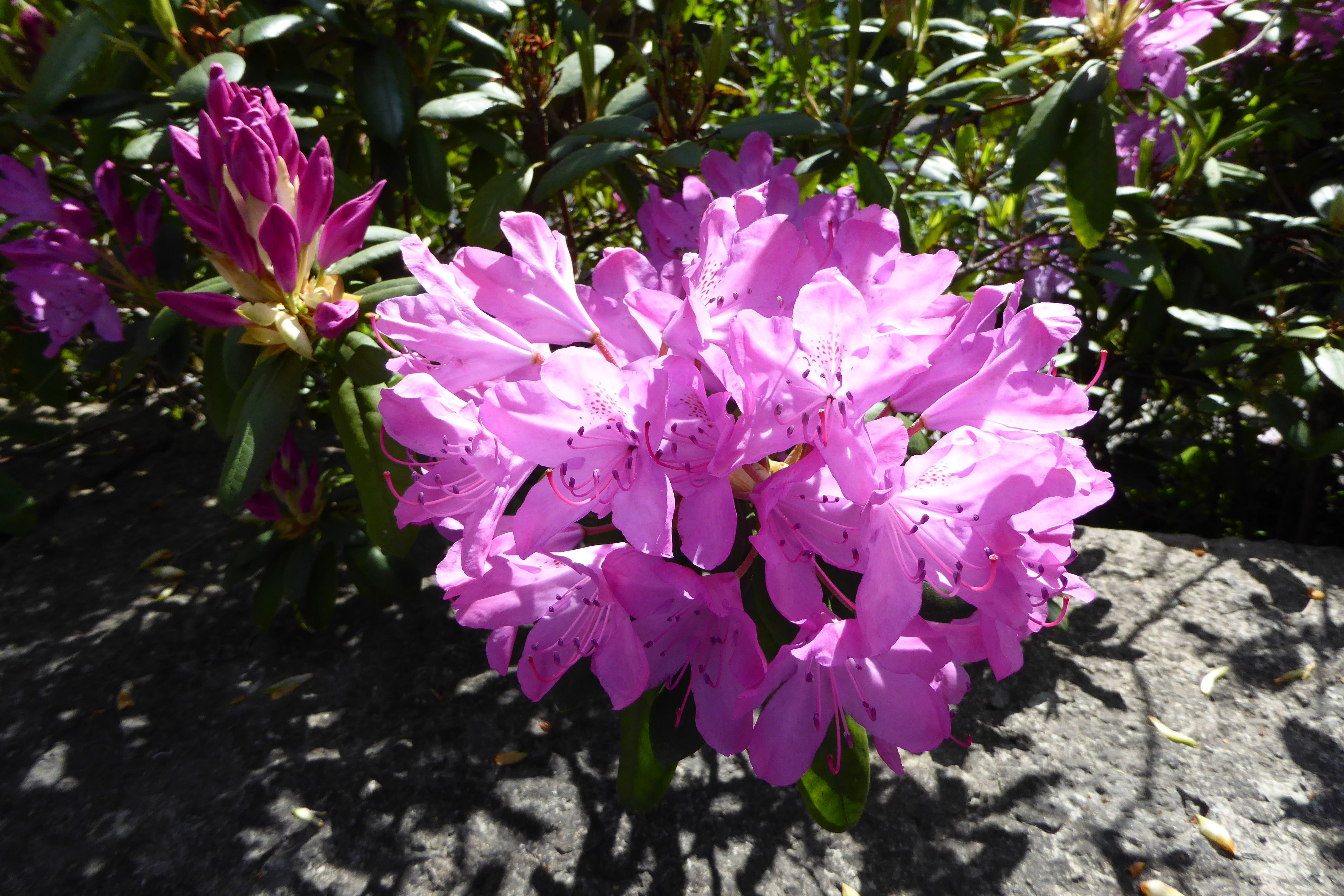 Rhododendron Is A Genus Of 1 024 Species Of Woody Plants In The Heath Family Either Evergreen Or Deciduous And Found Mainly Plants Habitats Projects Flowers