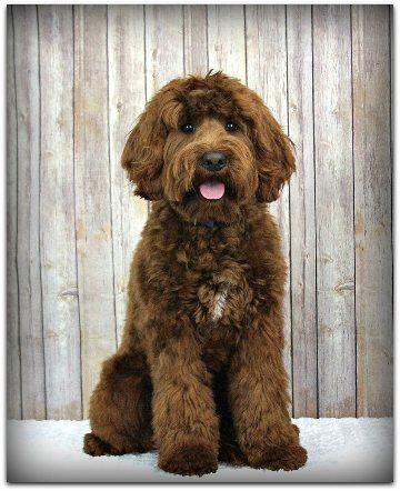 Labradoodle Puppies For Sale Australian Labradoodles California