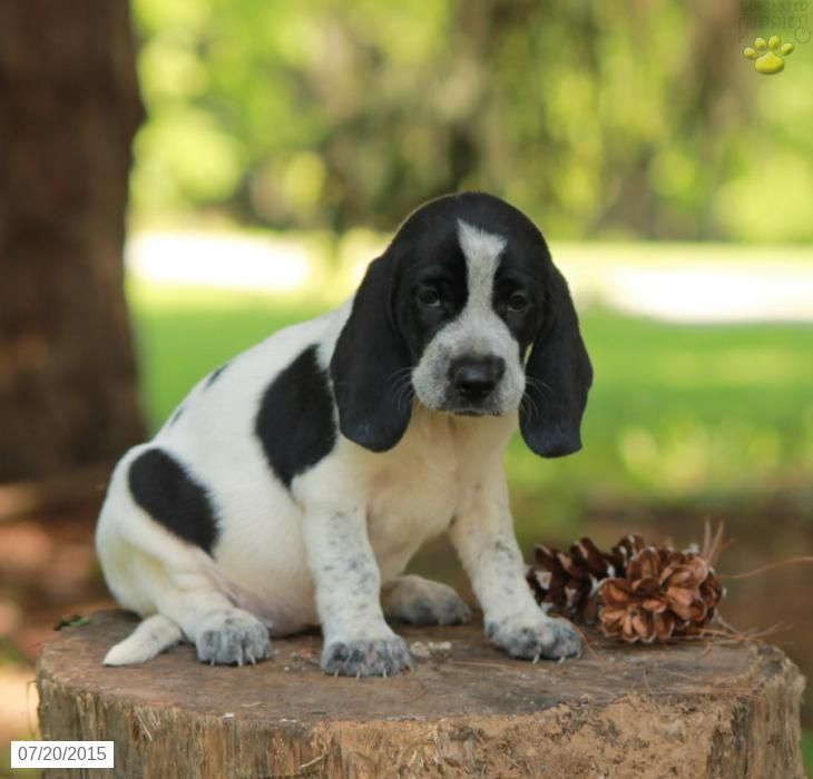 Beagle mix puppy for sale in pennsylvania puppies for