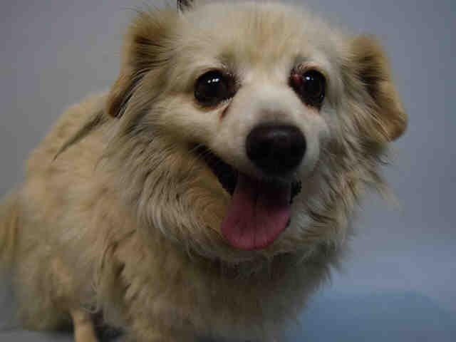 Super Urgent Brooklyn Center Keke A1110111 Spayed Female Cream