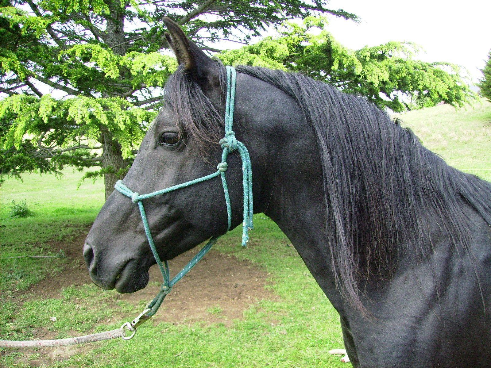 Image detail for black arabian stallion for sale horses u ponies