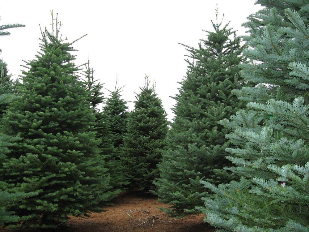 Christmas Tree Seeds.Details About Noble Fir Abies Procera Abies Nobilis