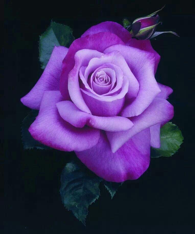 Beautiful purple rose.   Natural Wonders   Flowers, Purple ...  Purple