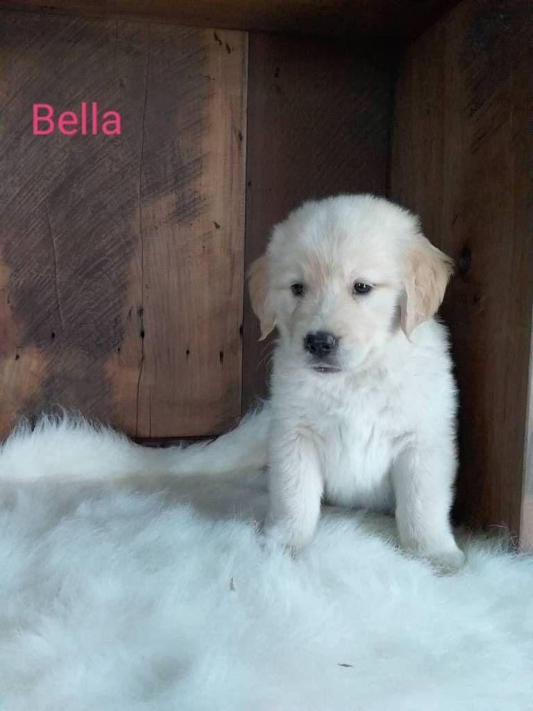 Bella Akc Female Golden Retriever 750 Female Golden Retriever
