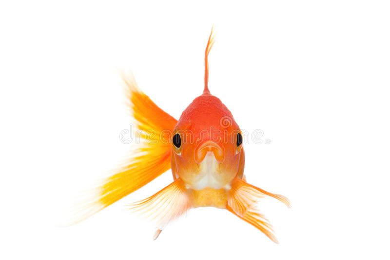 Goldfish Front View Isolated On White Goldfish Front View Close Up Isolated On Affiliate View Front Goldfish I Fish Drawings Goldfish Nature Images