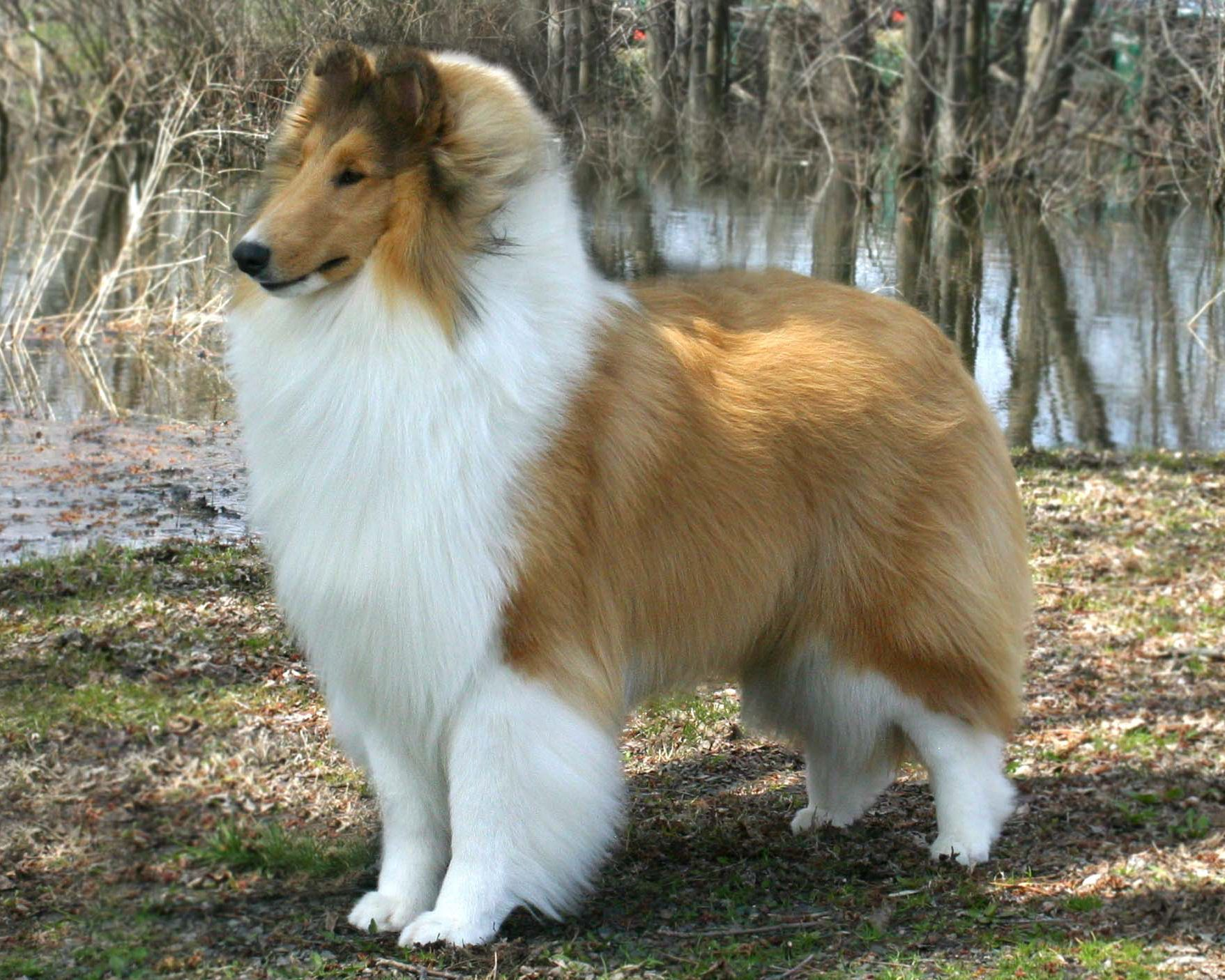 Pin On Awesome Collies