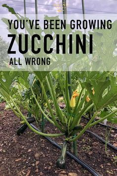 As it turns out ... you've probably been growing your zucchini all wrong. To grow healthier, more productive, zucchini plants that take up less space you need to stake them and prune them. Just like a tomato! #vegetablegardening #zucchini via @artofdoingstuff