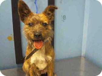 Houston Tx Cairn Terrier Mix Meet A1237834 A Dog For Adoption