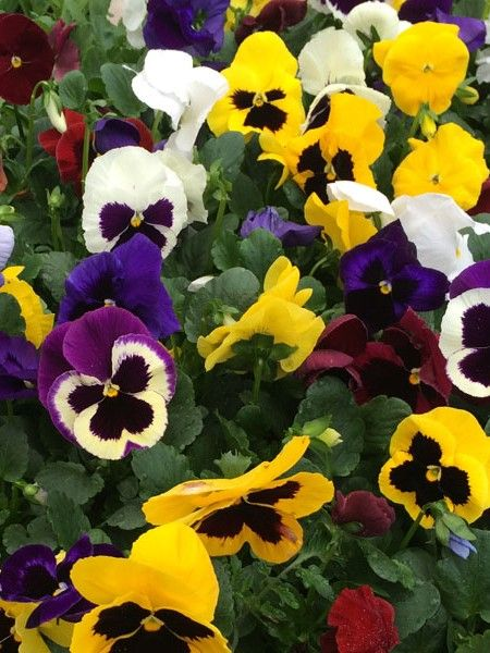 Pansy Delta Formula Mix Edible Flowers Flowers Pansies