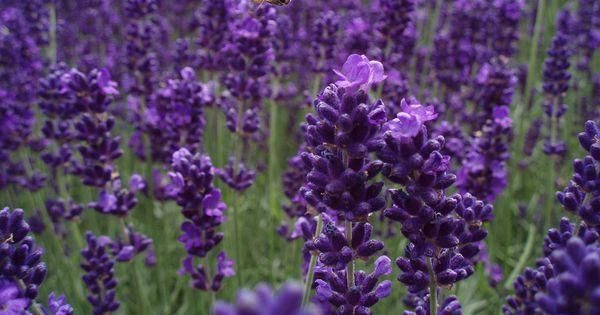 Keep the gnats away:   Whether you need extra protection for your garden or your skin, these herbs and flowers make great insect repellent. #pestcontrolservices,rodentcontrol,domyownpestcontrol,organicpesticides,naturalinsectrepellent,homepestcontrol,bedbugpestcontrol,insectrepellentplants,naturalpesticides,bestpestcontrol #gnats Keep the gnats away:   Whether you need extra protection for your garden or your skin, these herbs and flowers make great insect repellent. #pestcontrolservices,rodentc #gnats