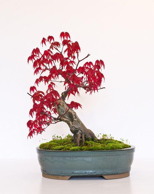 bonsai tree japanese maple acer palmatum deshojo. Black Bedroom Furniture Sets. Home Design Ideas