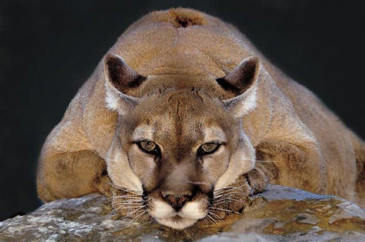 Cougar or Puma holds the Guinness record for the animal with the highest number of names, presumably due to its wide distribution across North and South America. It has over 40 names in English alone.