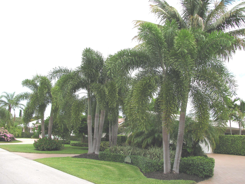 foxtail palm palms