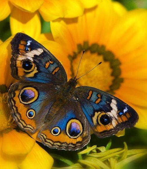 Buckeye Butterfly Buckeye Butterfly Beautiful Butterflies Butterfly