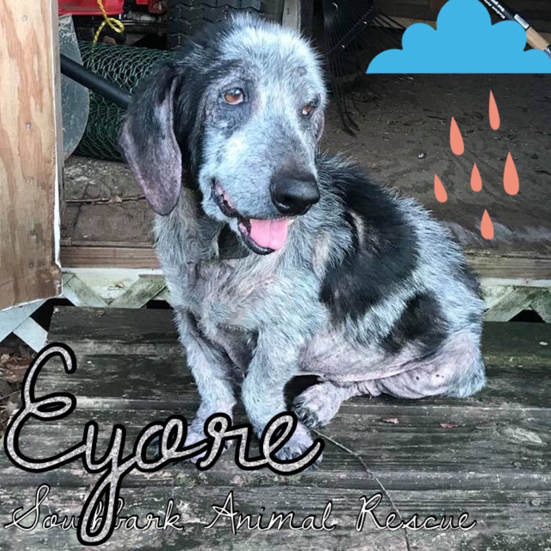 Adopt eyore on petfinder animal rescue basset hound mix