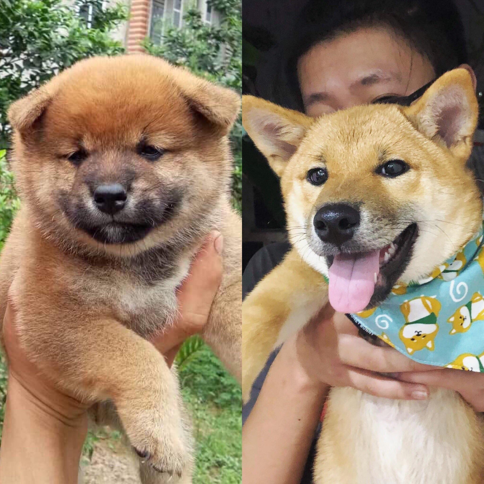 2 Weeks Vs 7 Months Shibainu Shibainupuppies Akita Puppies Shiba Inu Shiba Inu Puppy