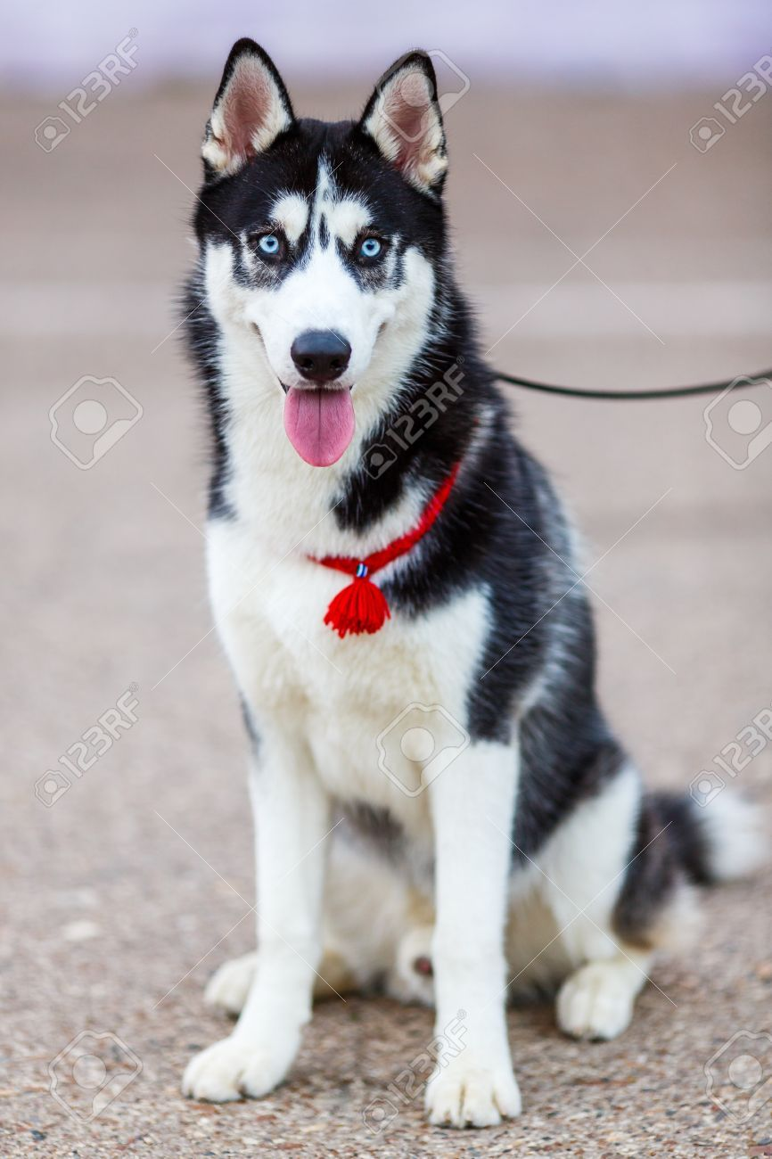 Purebred Siberian Husky Black And White Color Stock Photo Picture