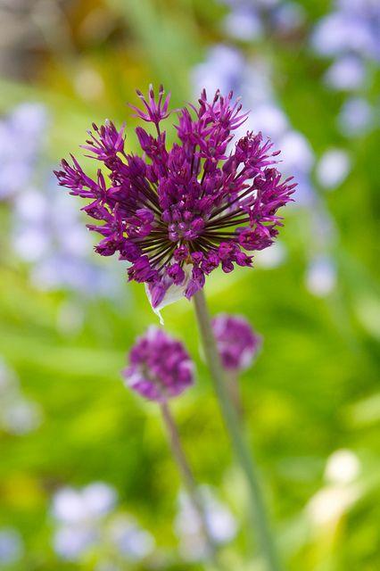 Allium Purple Sensation Atropurpureum 1618 By Sweber4507