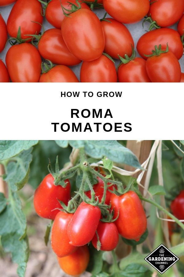 How To Grow An Unlimited Number Of Roma Tomatoes At Home Do You