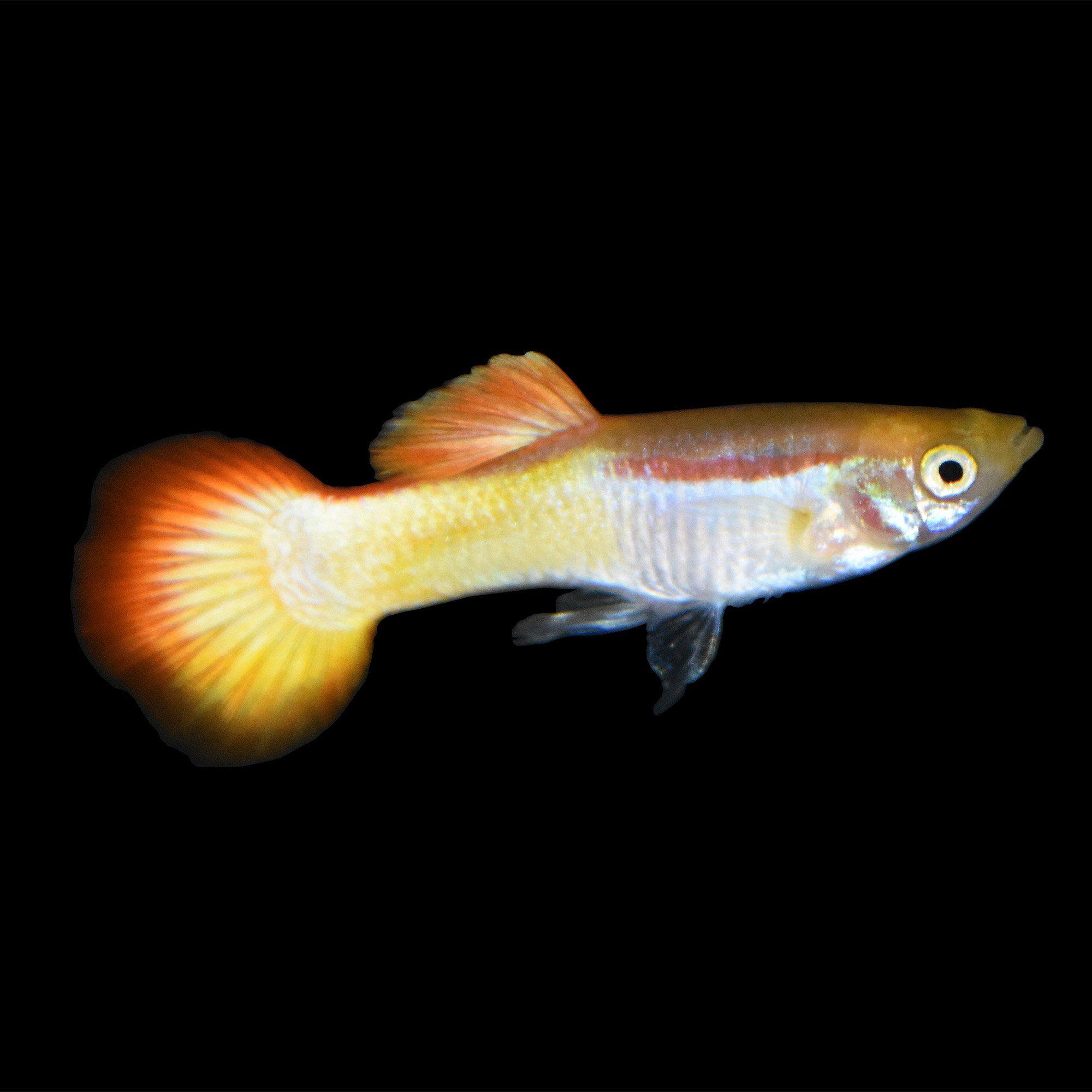 Male Sunrise Guppys For Sale Order Online Petco Petco Guppy Aquarium Fish