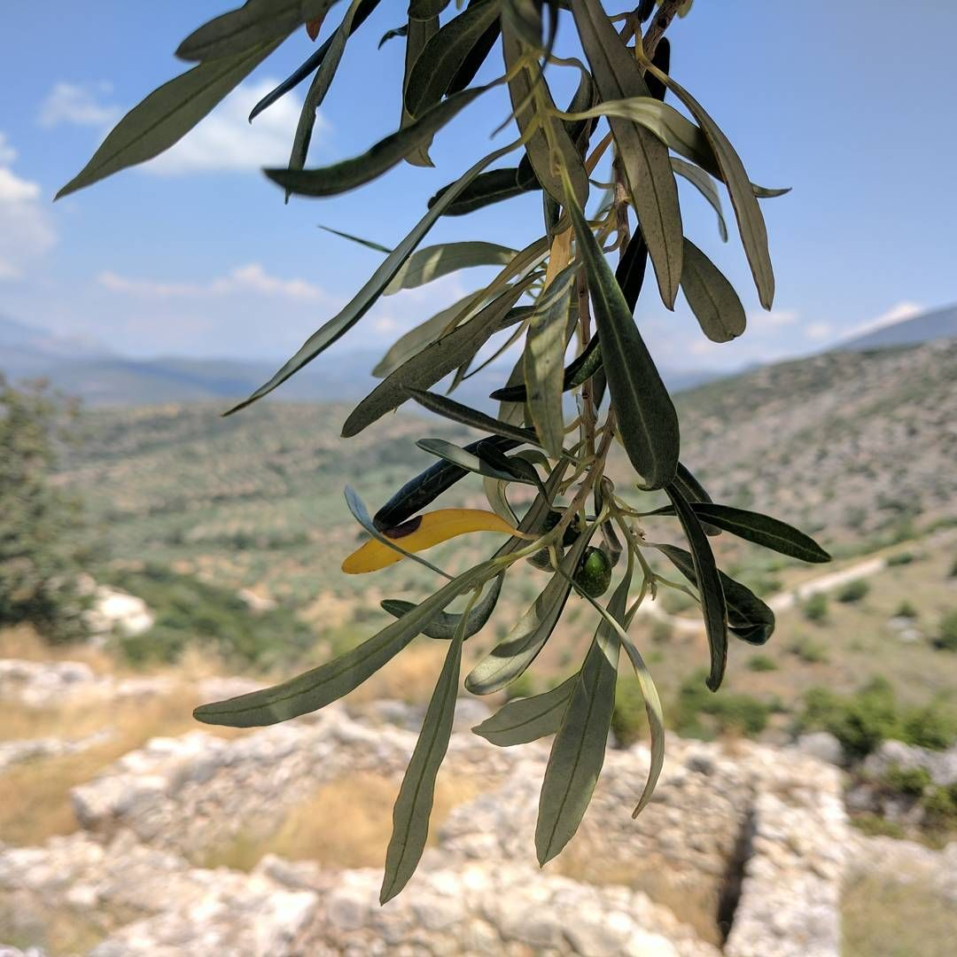 Olive trees and ruins are probably the best symbols of the olive trees and ruins are probably the best symbols of the peloponese mykines mycenae buycottarizona Choice Image